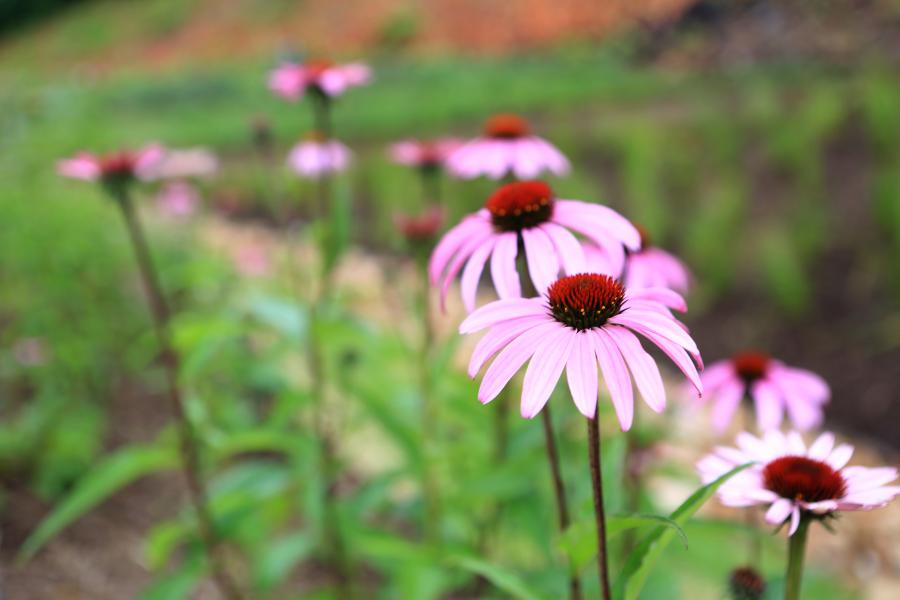 Photo of purple cone flowers at a rain garden in Pittsburgh